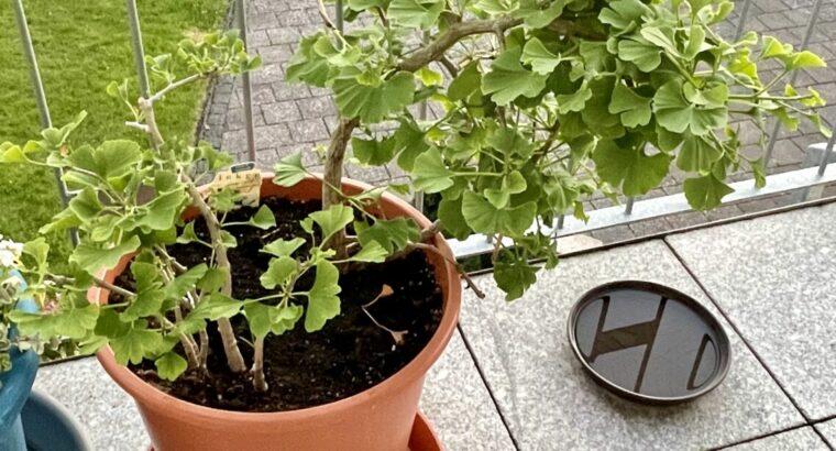 Ein Highlight für Garten oder Terrasse : Ginkgo biloba